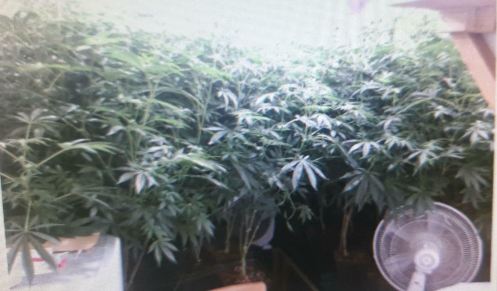 עשרות שתילי מריחואנה התגלו בדירה בעיר חריש. צילום משטרת עירון